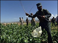 Record opium crop in southern Afghanistan