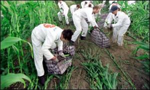 OGM : Le scandale du blé australien