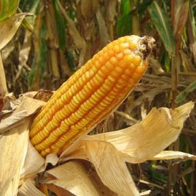Monsanto GM Corn in Peril: Beetle Develops Bt-Resistance