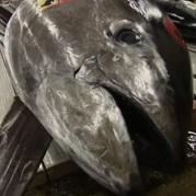 VIDEO: Radioactive Tuna from Fukushima Found Off California Coast