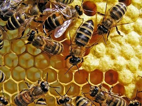 Death and Extinction of the Bees  The Role of Monsanto