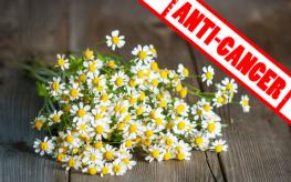 feverfew_plant_anti_cancer2-263x164