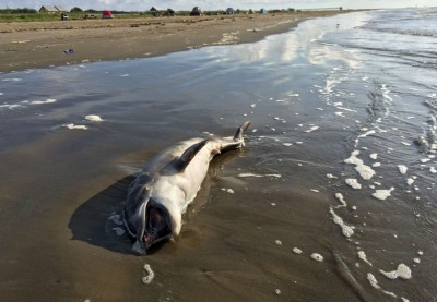 Gulf Oil Spill-Dead Dolphins