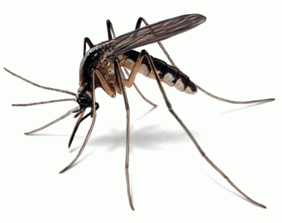 2775_604_Mosquito_illust