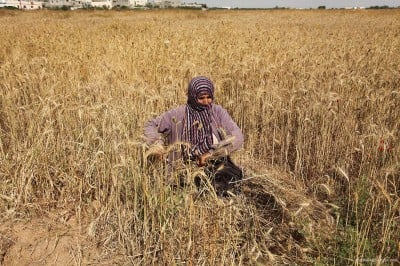 20160518_Israel-damages-gaza-crops-agriculture-9