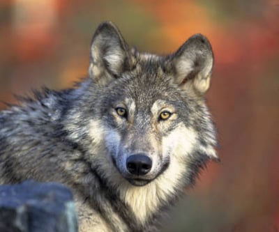 Trump Administration Announces Stripping Gray Wolf