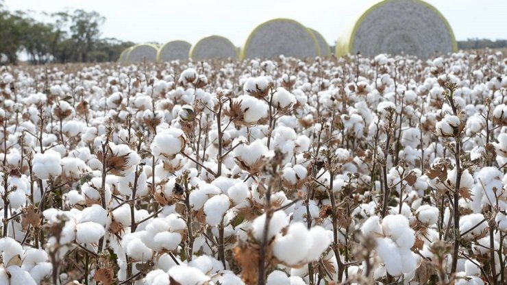 """""""Let Them Eat Cotton"""" : Genetically Modified Cotton as a """"Solution to Human Hunger""""? Approved by FDA"""